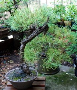 New Black Pine, Legacy tree originally owned by Bill Scot