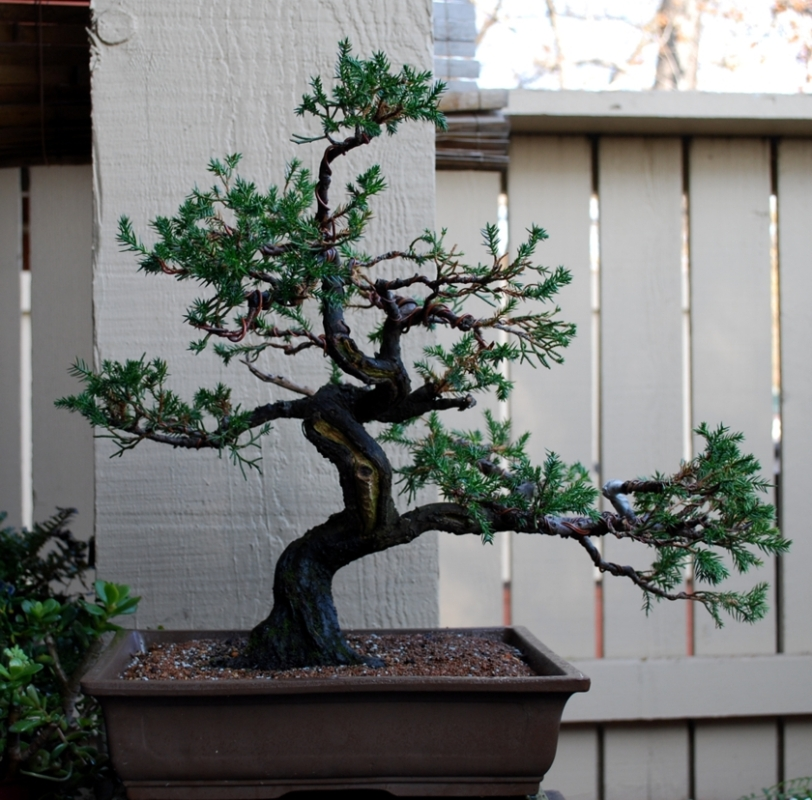 Juniper potting and styling