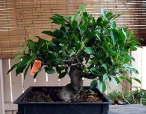 Ficus Before first cut