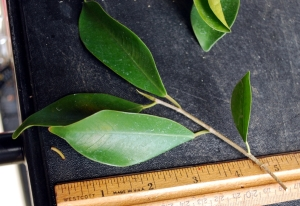 Ficus original leaf size