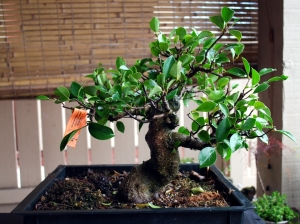 Ficus after first cut