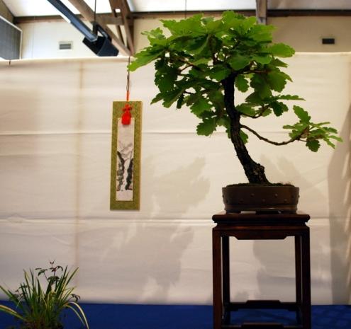 Daimyo Oak from the Kusamura Bonsai Club Show