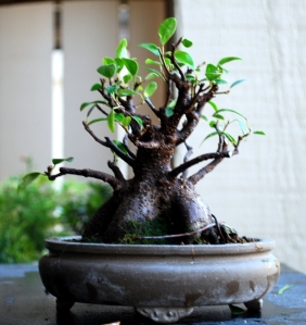 Another Shohin ficus was reduced severely to create smaller leaves and better bracnches
