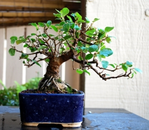 The same Ficus after a massive reduction. This can only be done when temperatures have reached the 80's and the tree is very strong.