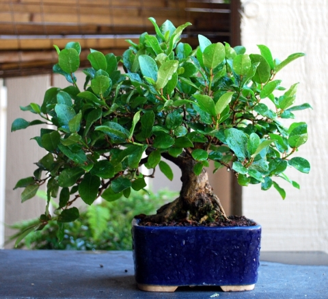 Shohin Ficus growing strong after the April show.