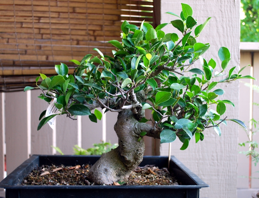 Ficus Demonstration Tree Update