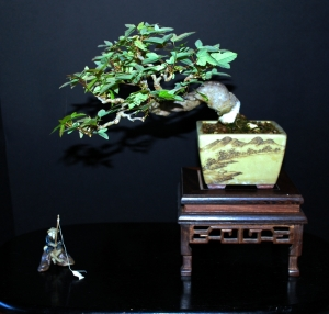 Shohin Trident Maple, Summer 2013