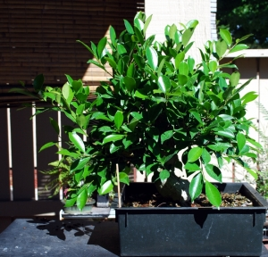 Ficus  Microcarpa, August 2013 Pre Demo