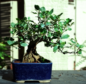 Ficus Pumila, Shohin Style. This will be trimmed and wired this fall.