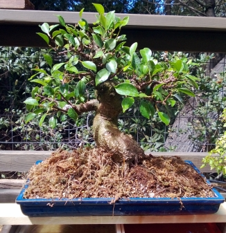SBBK Demo Ficus After Re-potting