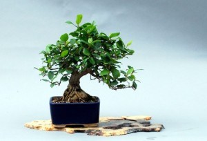 Ficus Shohin at show.