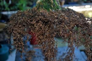The root mass show negative root development in turface medium.