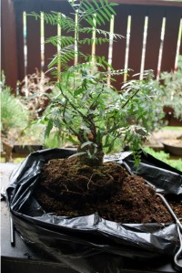 Peruvian Pepper bonsai:  out of the pot.