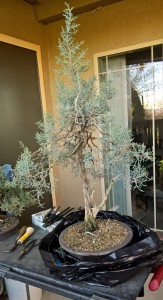 Sierra Juniper before re-potting.