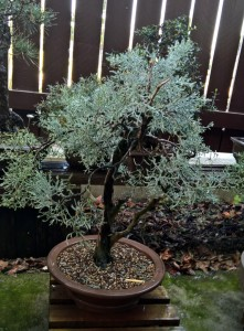 Sierra Juniper after re=potting
