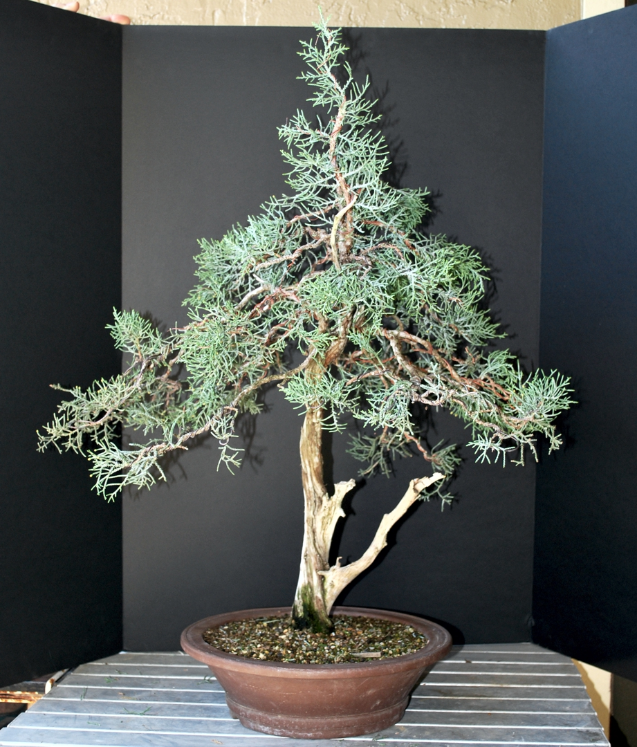 Sierra Juniper Retrospective 2008 2017 Artsofjc Bonsai Without Wiring After For Display At Master Kathy Shaners Demo Was A Student Of Mitsuya In Japan On California Natives The