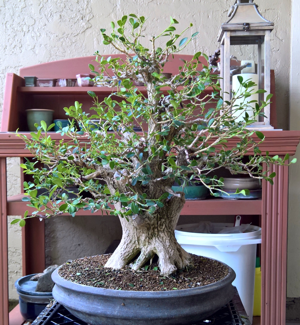 August Working Boxwood Artsofjc Wiring Bonsai Branches 2017 After Leaf Reduction Branch Selection This Will Allow Clear Path For And Refinement